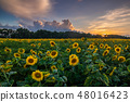 Field of blooming sunflowers on a background sunset 48016423