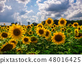 Field of blooming sunflowers on a background sunset 48016425