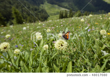 Butterfly on a flower in Bavarian mountains 48017080