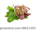 bunch of fresh red and green spinach on white 48021393
