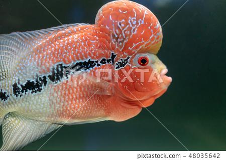 Goldfish 48035642