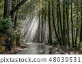 Morning sunbeams through Coast Redwoods 48039531