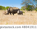 White rhinoceros with puppy, South Africa 48041911