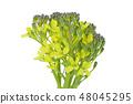 브로콜리 꽃 (심도 합성) 48045295