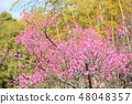 핑크 매화 48048357