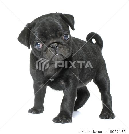 puppy black pug 48052175