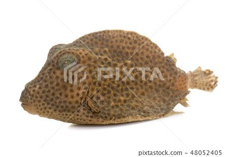 boxfish in studio 48052405