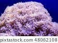 Euphillia coral 48062108