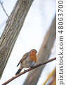 Robin British National Bird 48063700