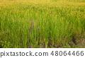 Italian rice fields in summer 48064466