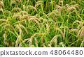 Italian rice fields in summer 48064480
