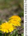 봄의 들판과 민들레 꽃 48069274