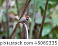 Short-tailed parrotbill (Neosuthora davidiana) 48069335