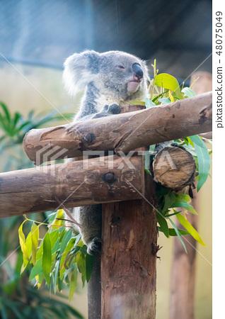 Koala sticks on the logs 48075049