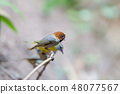 Short-tailed parrotbill (Neosuthora davidiana) 48077567