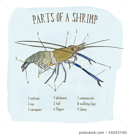 Part of shrimp, hand draw sketch vector. 48085590