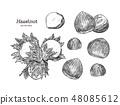 Hazelnut nut seed vector. 48085612