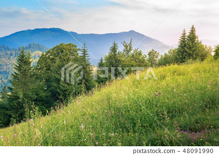 conifer trees on a grassy hill 48091990