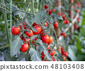 水果 西紅柿 番茄 48103408
