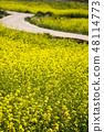 유채꽃,봄,꽃,자연 48114773