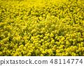 유채꽃,봄,꽃,자연 48114774