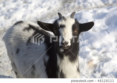 Pygmy goat in a park, wintertime 48128111