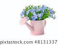 Flax flowers in a decorative watering can Isolated 48131337