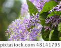 Purple Petrea racemosa flower 48141795