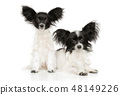Portrait of a young Papillon puppies 48149226