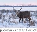 이쪽을 향하고 서 수컷 사슴 48156126