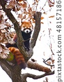 Redress Panda on a tree 48157186