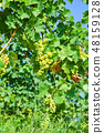 Grapes in a vineyard in Piedmont Italy. Low view 48159128