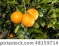 Close-up of oranges on the tree. 48159714