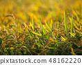 Rice ears in a paddy field 48162220