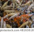 group of colorful Koi nishikigoi Amur carp (Cyprinus rubrofuscus) in outdoor koi ponds water garden 48163618