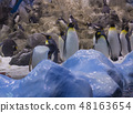 Spain, Tenerife, Puerto de la Cruz, 2017, December 28: group of Emperor penguin with blue ice and 48163654