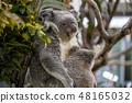 Koala 48165032