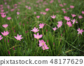 beautiful pink flowers in the garden 48177629
