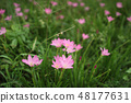 beautiful pink flowers in the garden 48177631