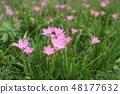 beautiful pink flowers in the garden 48177632