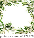 An overhead photo of a frame of olive tree branches with copy space, shot from the top on a white 48178229