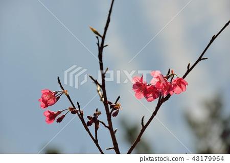 台灣山櫻(Prunus campanulata Maxim)希坎櫻(Yamasakura) 48179964