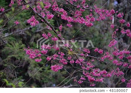 台灣山櫻(Prunus campanulata Maxim)希坎櫻(Yamasakura) 48180007