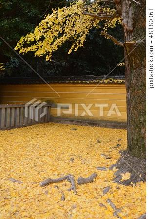 Fallen Leaves of Ginkgo Stacked (Kompira-san Shrine / Kogaira Town Nakadatsu-gun Kagawa Prefecture) 48180061