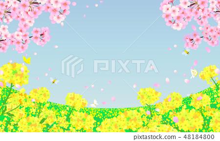 強姦花田和櫻桃樹藍天背景 48184800