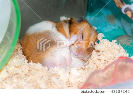 Golden Hamster Scratching Your Feet Stock Photo 48187146 Pixta
