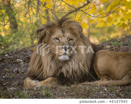 Lion male relaxing portrait view in yellow colors 48187995