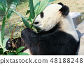 Panda eating bamboo 48188248