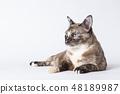 Portrait of beautiful grey cat on white background 48189987