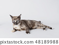 Portrait of beautiful grey cat on white background 48189988